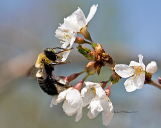 Spring Bee by Suzette Paduano