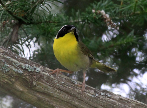 Common Yellowthroat | by Laura Erickson