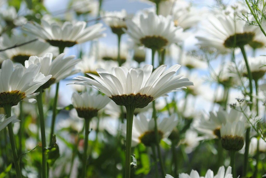 A sea of Daisies.