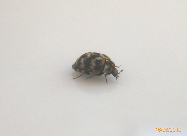 Varied carpet beetle | Flickr - Photo Sharing!