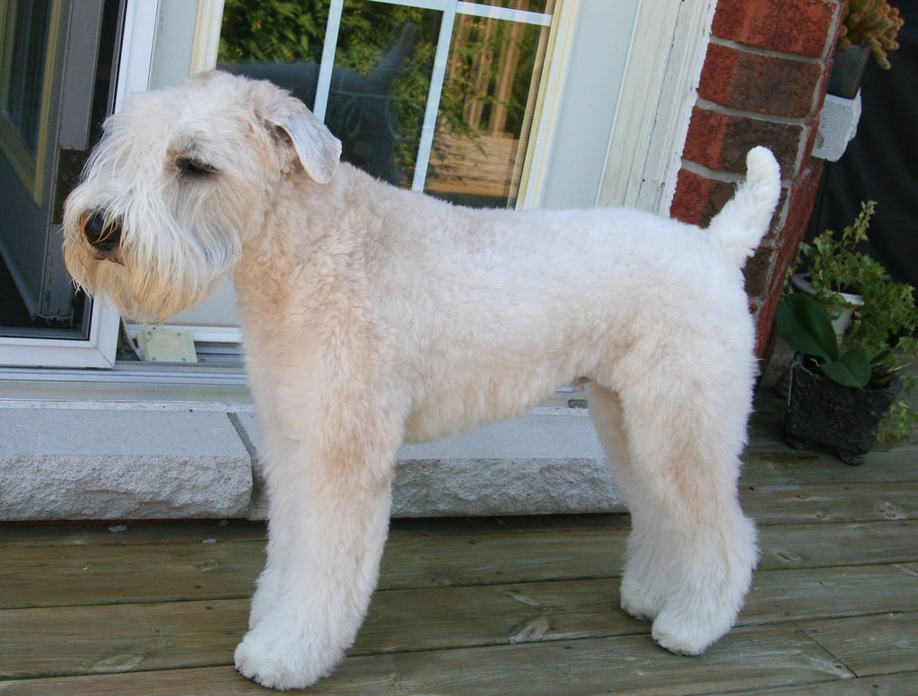 Snick Has A Nick From The Groomer Wheaten Terriers Flickr