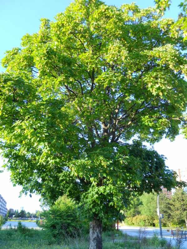 Acer platanoides.. v 1