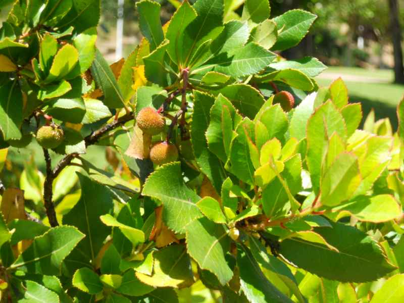Arbustus unedo 5