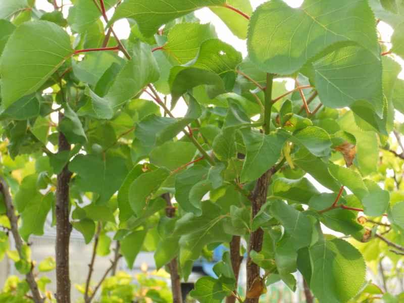Prunus armeniaca 'Bullida' 1