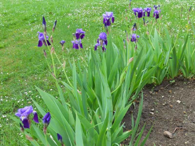 Iris reticulata 2