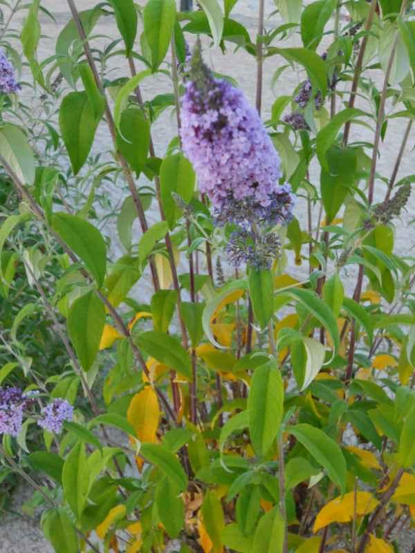Buddleja davidii 'Nanhoensis Blue' v 4