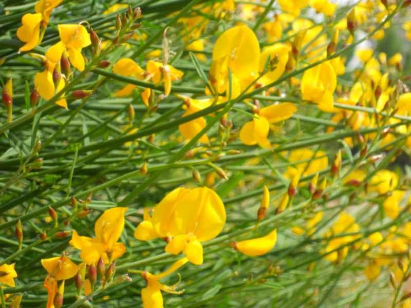 Cytisus scoparius flor 3
