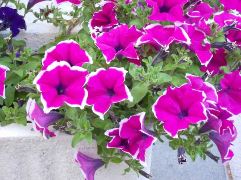 Petunia grandiflora 3