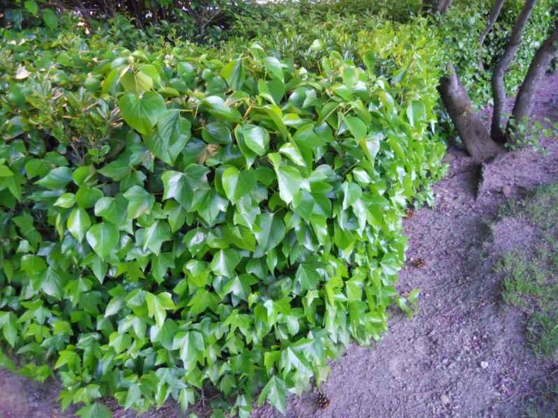 Hedera helix 'Arborescens' seto 3