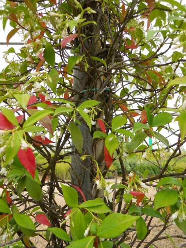 Rhyncospernum jasminoides v 2