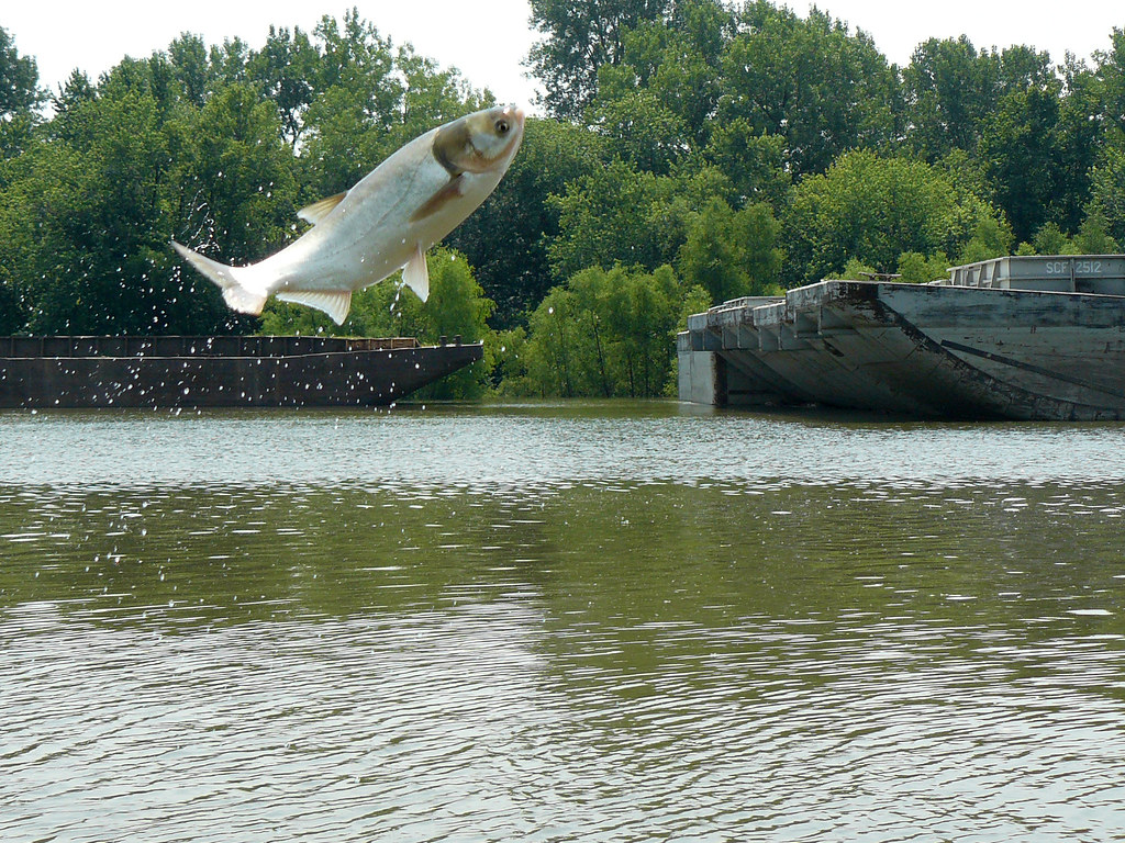 Carp Over Barge