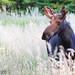 Roadside Moose... by Jim Salge