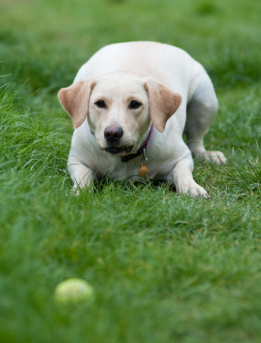 yellow Labrador crouched, waiting for a ball
