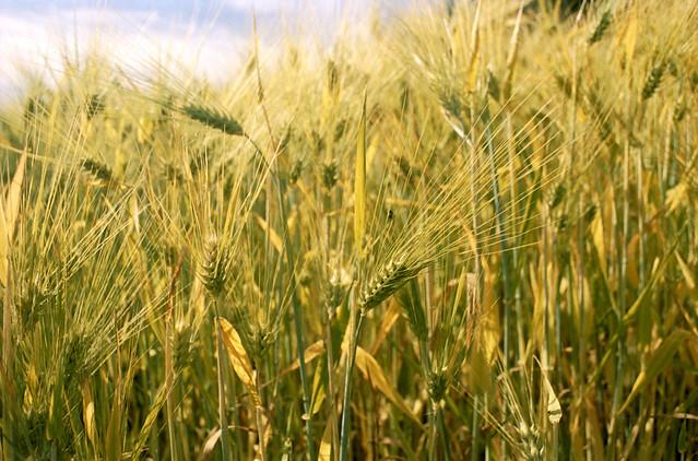 More barley