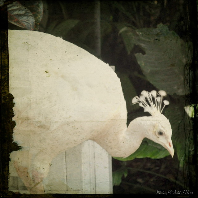 White peacock in texture
