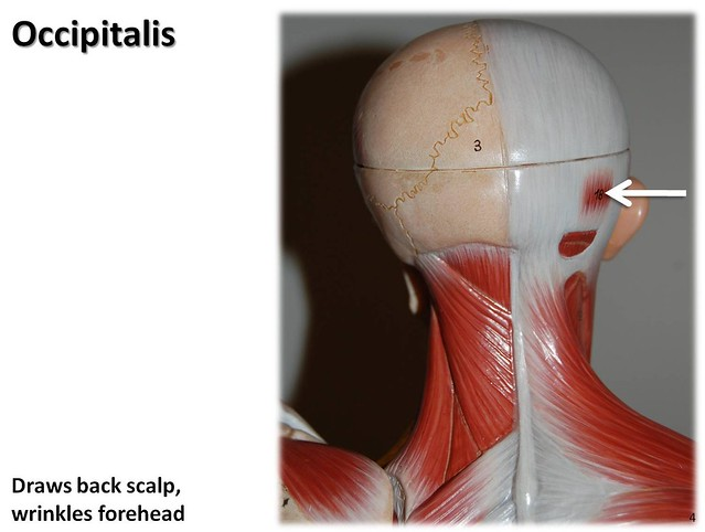 Occipitalis Muscles Of The Upper Extremity Visual Atlas