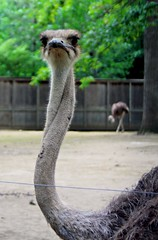 emu, animal, ostrich, flightless bird, fauna, beak, bird, ratite,