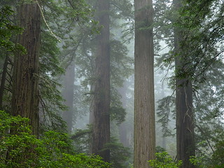 Redwood National Park | Del Norte Coast Redwoods State Park | Damnation Creek Trail | Fog | Trees | P7315932.JPG