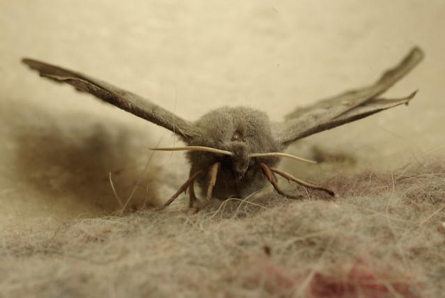 Papillon de nuit en plein jour flickr photo sharing for Plein jour fenetre