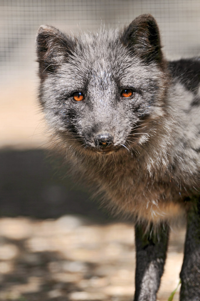 Arctic fox in a gray cloth