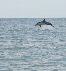 A Welsh Dolphin.