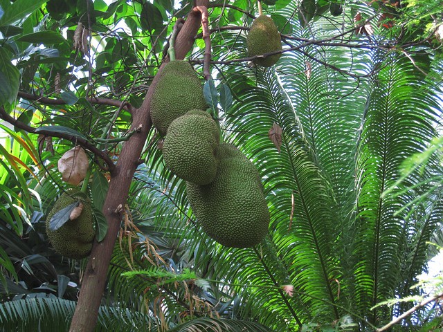 Jackfruit (Artocarpus heterophyllus) in the Tropical Pavilion of the Steinhardt Conservatory. Photo by Rebecca Bullene.