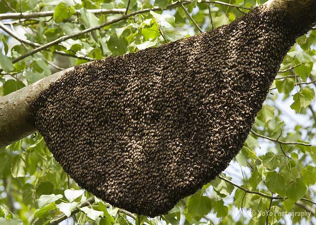 Honey bees nest in tree - photo#9