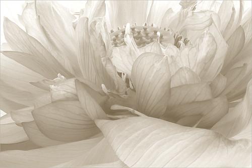 Lotus Flower petals Macro - IMG_7313-1-bw