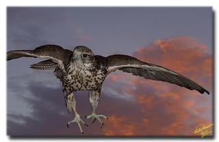 Hawk landing ... not an HDR