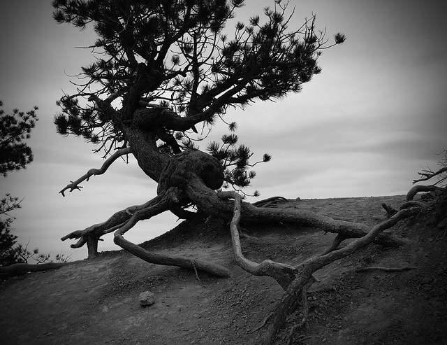 Gnarled Tree, black and white