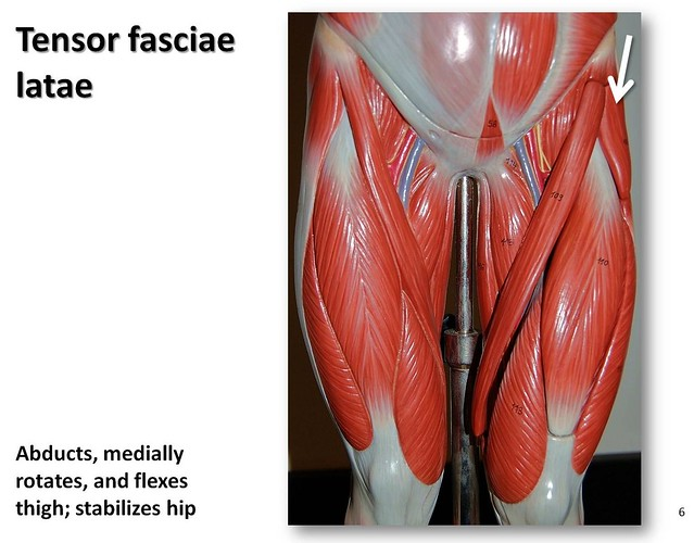 Tensor fasciae latae - Muscles of the Lower Extremity