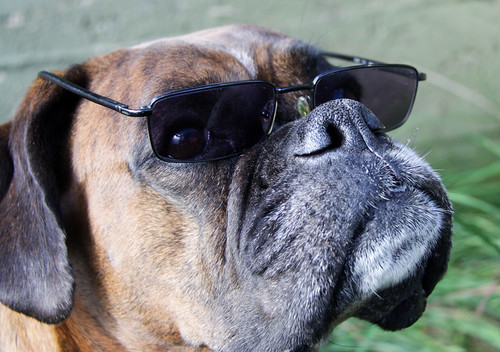 dog sunglasses