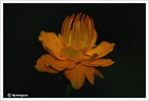 54.毛茛科金莲花属金莲花1
