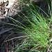 Carex macloviana subsp. subfusca