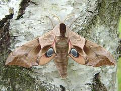 Smerinthus ocellata - Photo of Sainte-Bazeille