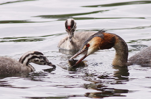 Grebes lunch