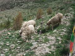 Mouton à Yongbulakang