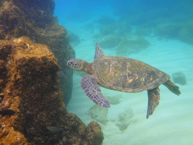 sea turtle in Waimea bay