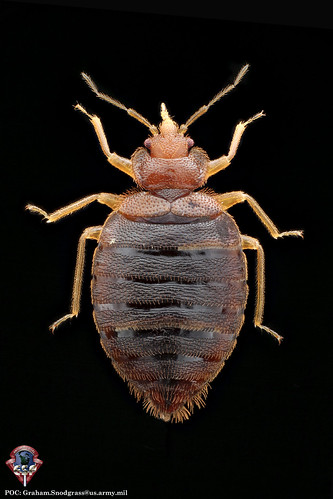 Adult male of the common bed bug, Cimex lectularius L