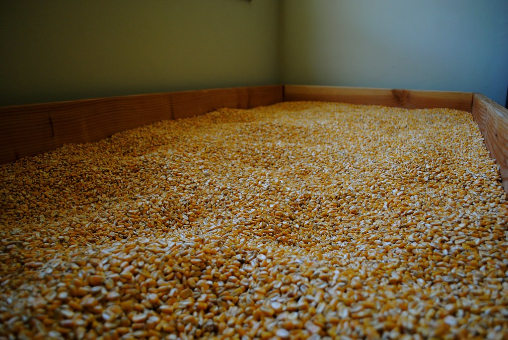 350 pounds of corn