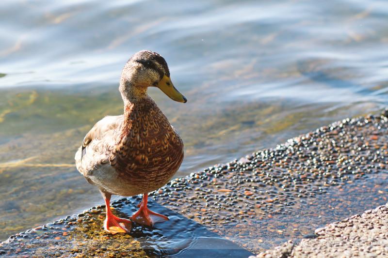 just quack
