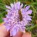 Small photo of Nemophora scabiosella. Adelidae