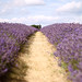 mayfield lavender by V loves E...