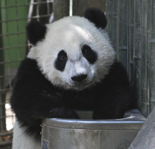 Close up of World famous Yun Zi at the World famous San Diego Zoo