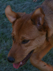 dhole(0.0), dog breed(1.0), animal(1.0), dingo(1.0), dog(1.0), carolina dog(1.0), pet(1.0), pariah dog(1.0), mammal(1.0), finnish spitz(1.0), korean jindo dog(1.0),