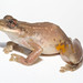Red Snouted Treefrog - Photo (c) Brian Gratwicke, some rights reserved (CC BY)