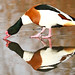 Male shelduck...