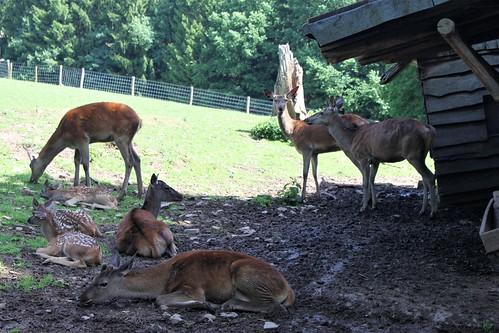 Forestia, Deer