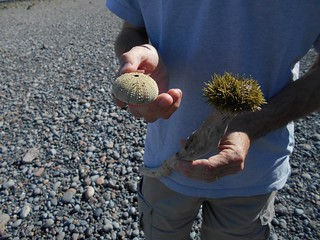 sea urchins, Port Hood, Nova Scotia