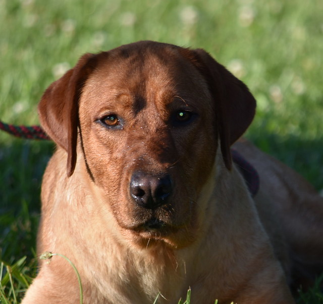 Red Moon Labradors Fox Red Onna